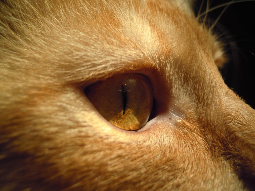 cat eye infection treatment