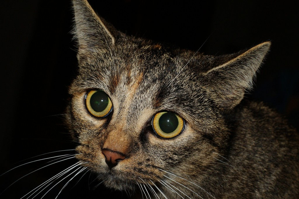 how to treat cat eye infections